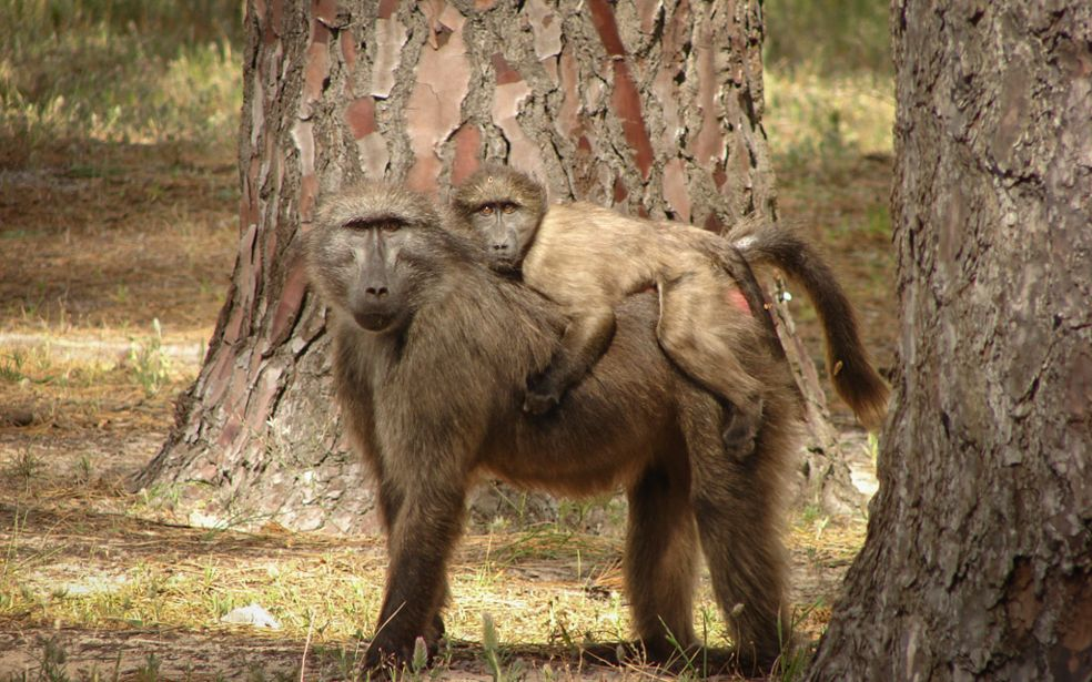 Baboon monitoring during events