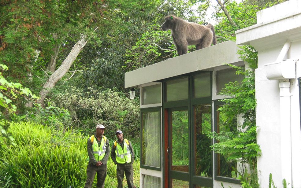 Managing baboon-human conflict for the City of Cape Town