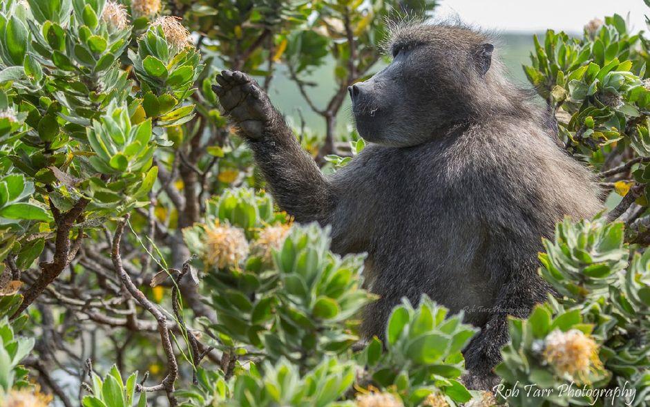 Keeping Cape Peninsula Baboons Wild